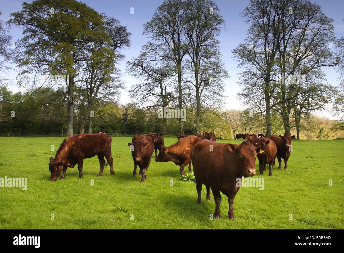 Devon Ruby Red cattle in a Devon field. - Stock Image
