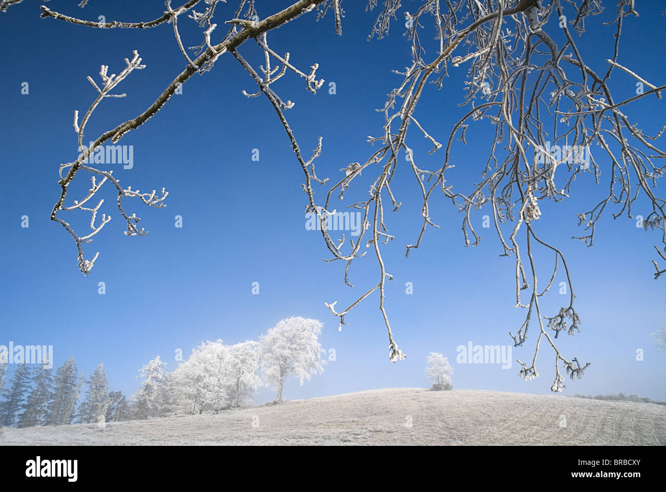 IRELAND County Monaghan Tullyard Trees covered in hoar frost on outskirts of Monaghan Town Eire - Stock Image