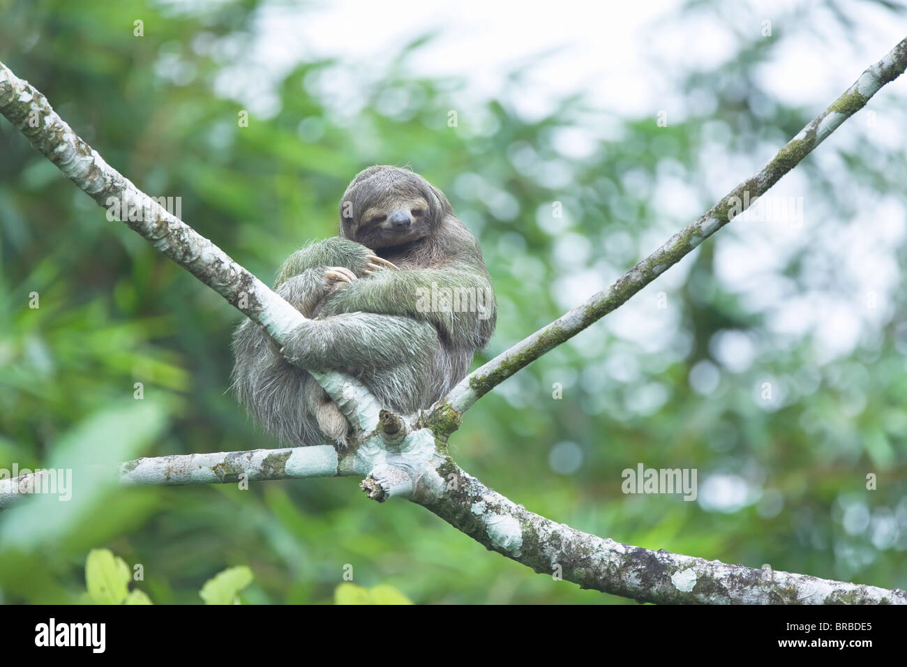 Three-toed sloth (Bradypus variegatus) sitting on a tree, Arenal, La Fortuna, Costa Rica, Central America Stock Photo