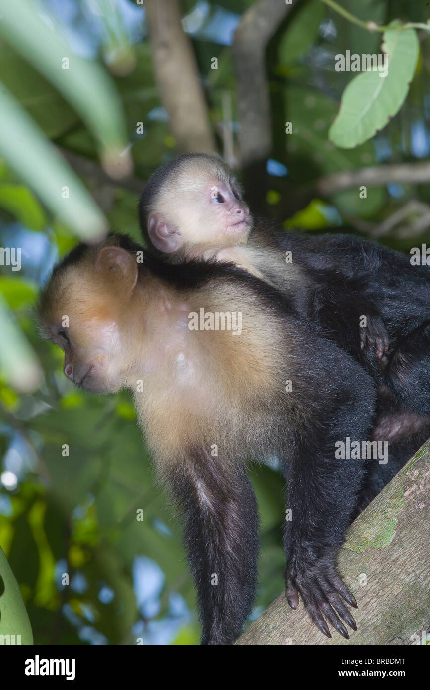 A white-faced capuchin monkey carries her young. Manuel Antonio National Park, Costa Rica,  Central America - Stock Image