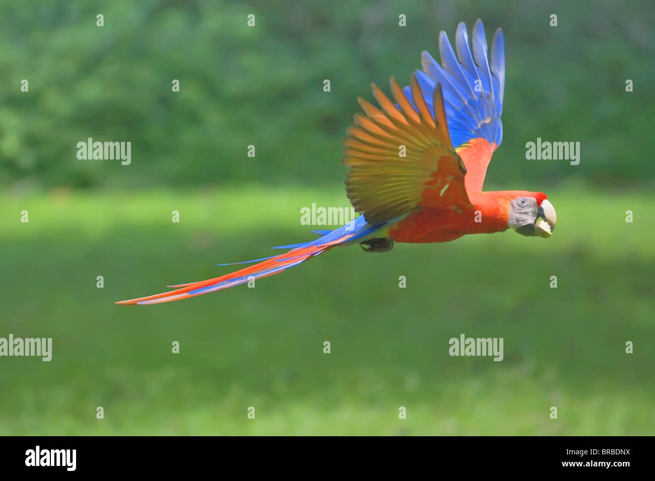 Scarlet macaw (Ara macao) in flight with nut in its beak, Corcovado National Park, Osa Peninsula, Costa Rica, Central - Stock Image