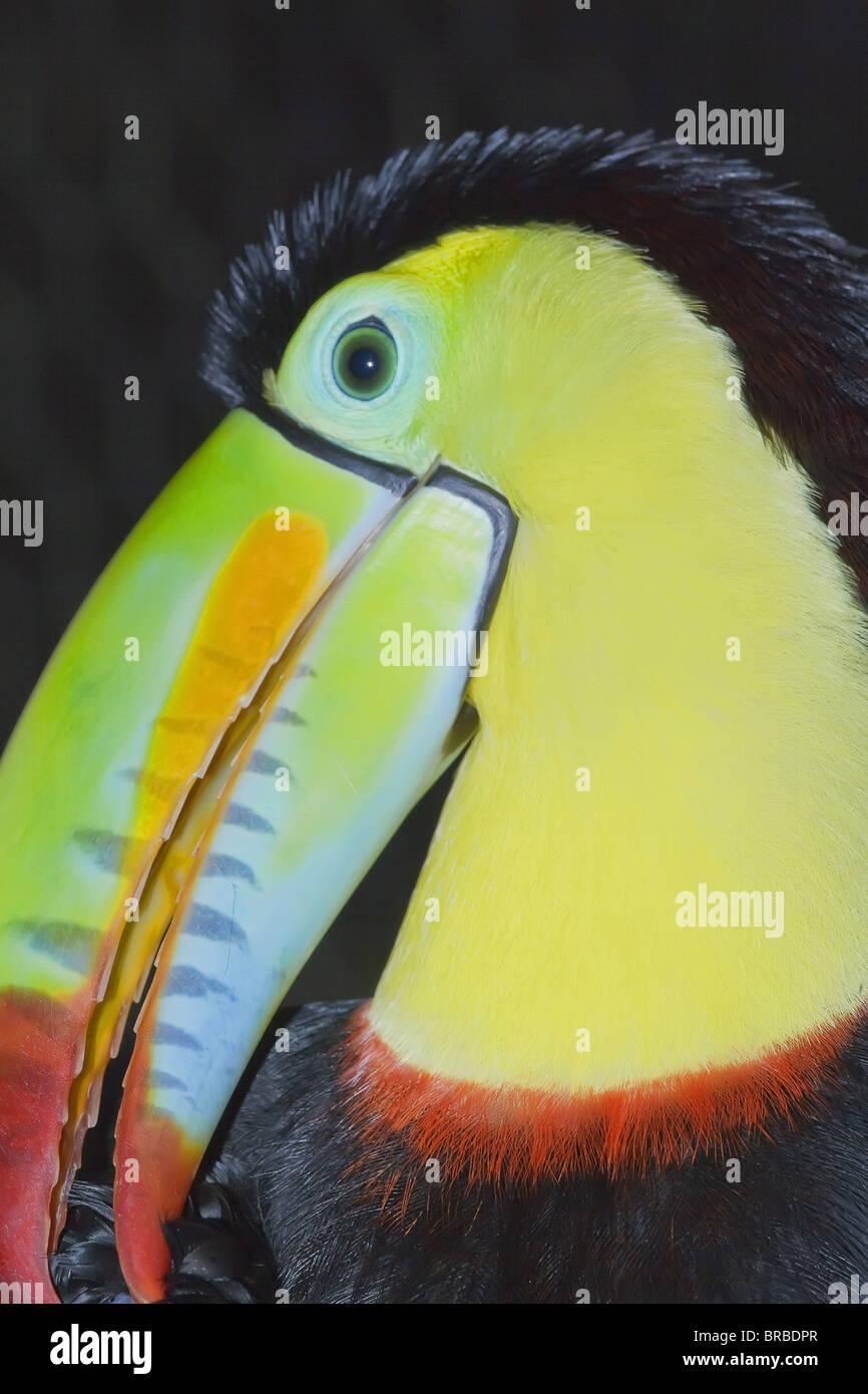 Keel-billed toucan (Ramphastos sulfuratus), Costa Rica, Central America - Stock Image