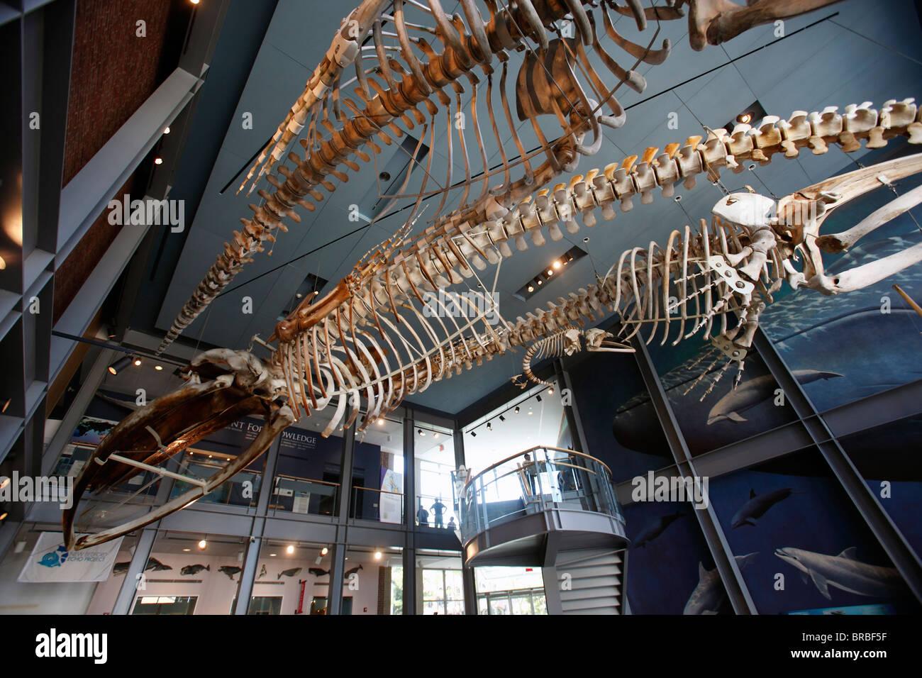 Whale skeletons, New Bedford Whaling Museum, New Bedford, Massachusetts - Stock Image