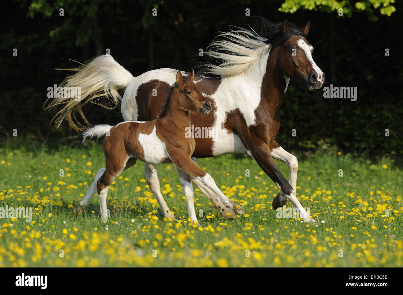 Lewitzer Horse (Equus ferus caballus), mare with foal in a gallop on a pasture. - Stock Image