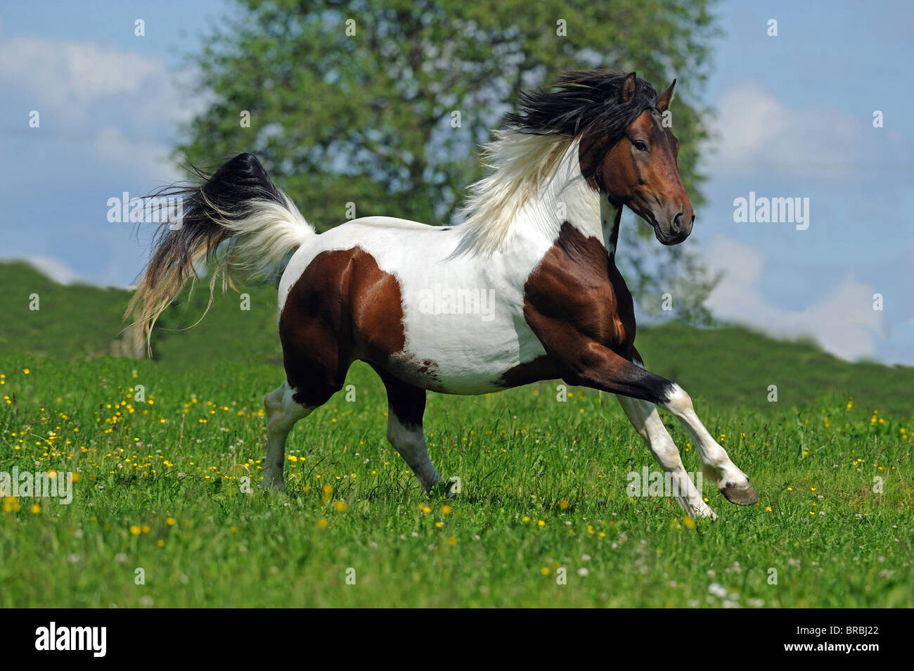 Lewitzer Horse (Equus ferus caballus), stallion in a gallop on a pasture. Stock Photo
