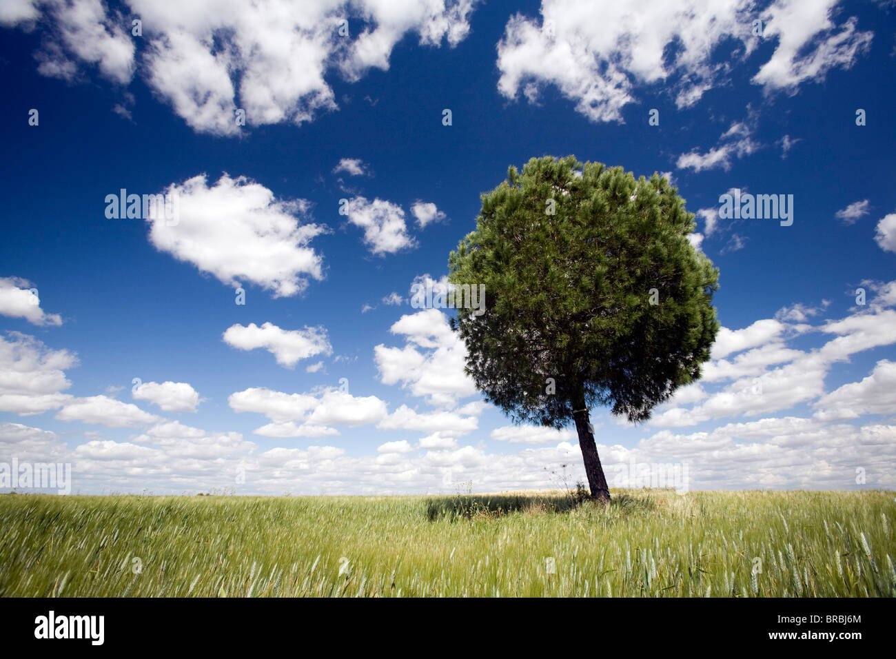 A tree in a wheat field, Sevilla, Spain Stock Photo