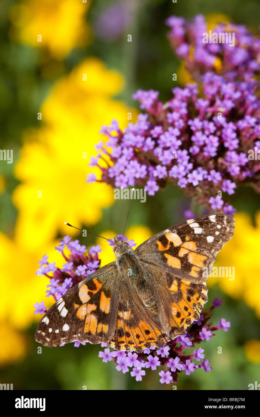 Painted Lady butterfly resting and feeding on Verbena bonariensis with corn marigold in the background - Stock Image