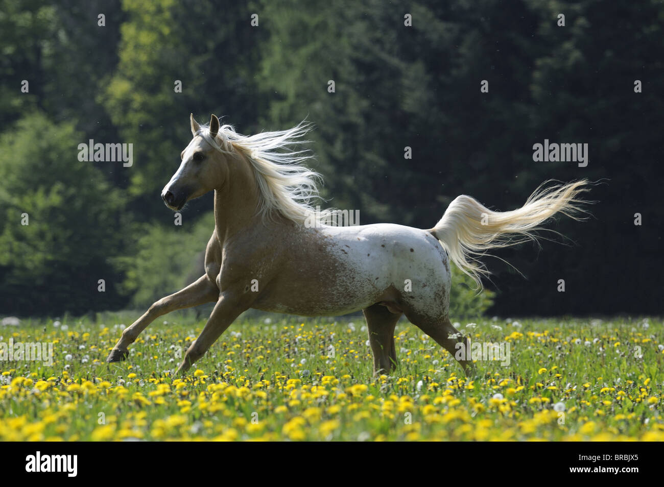 Partbred (Equus ferus caballus). Stallion in a gallop on a meadow. - Stock Image