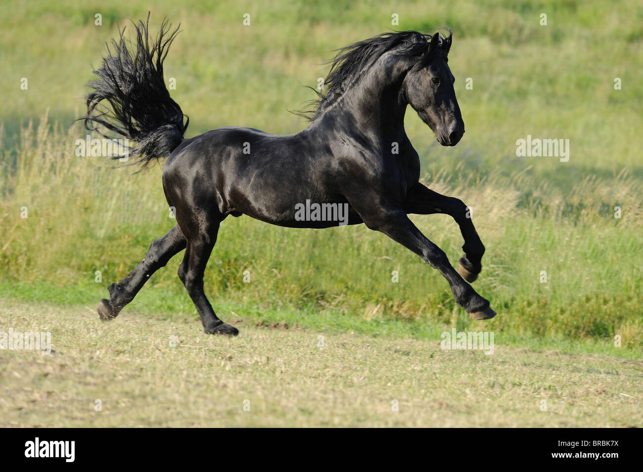 Friesian Horse (Equus ferus caballus). Stallion galopping on a meadow. - Stock Image