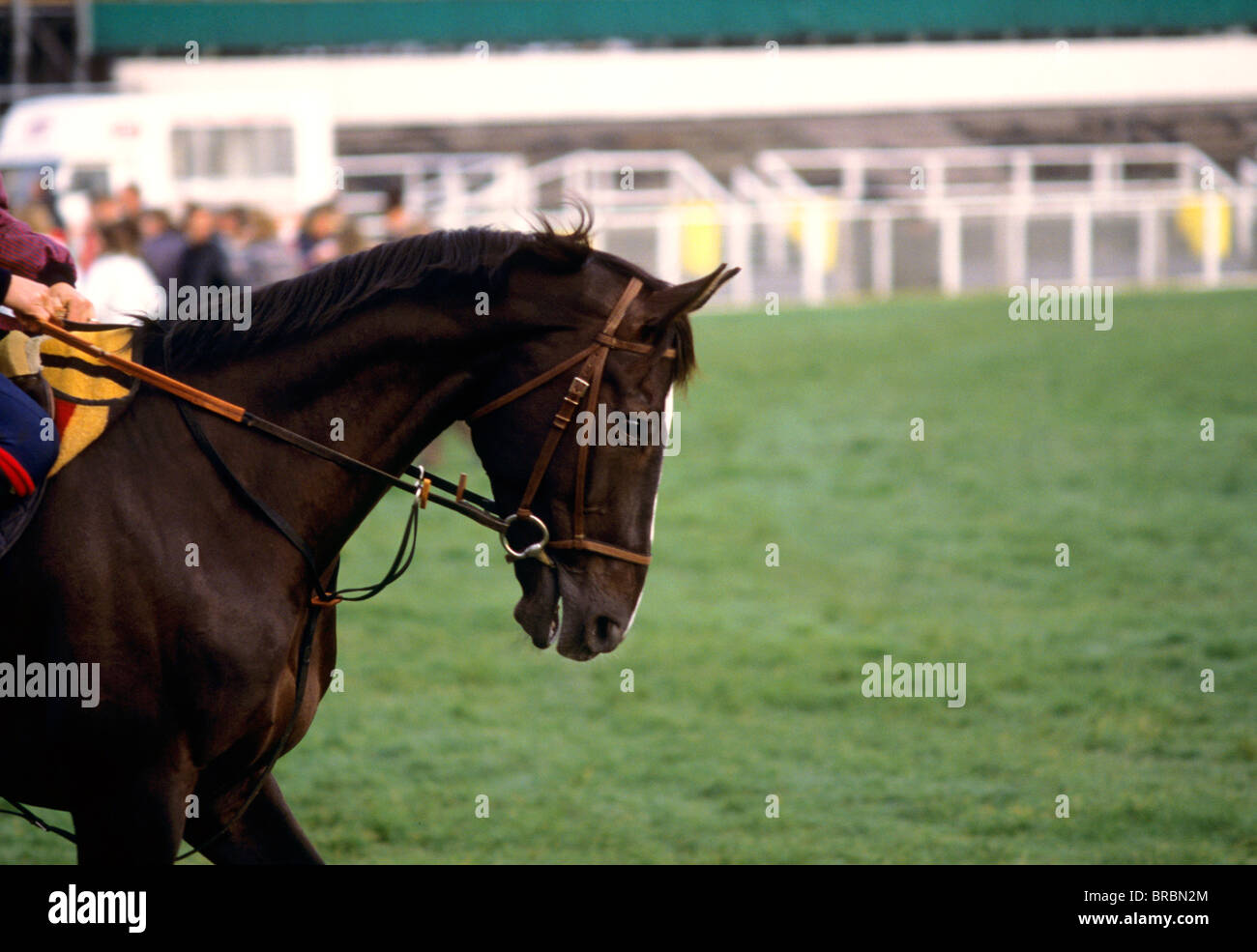 Horse being ridden towards starting stalls at race track - Stock Image