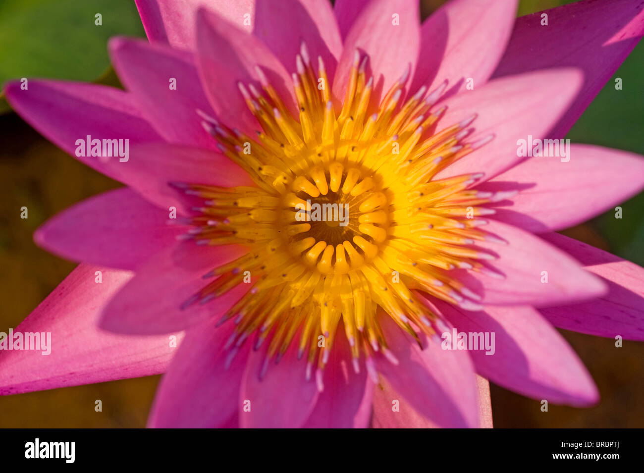 A lotus flower Stock Photo