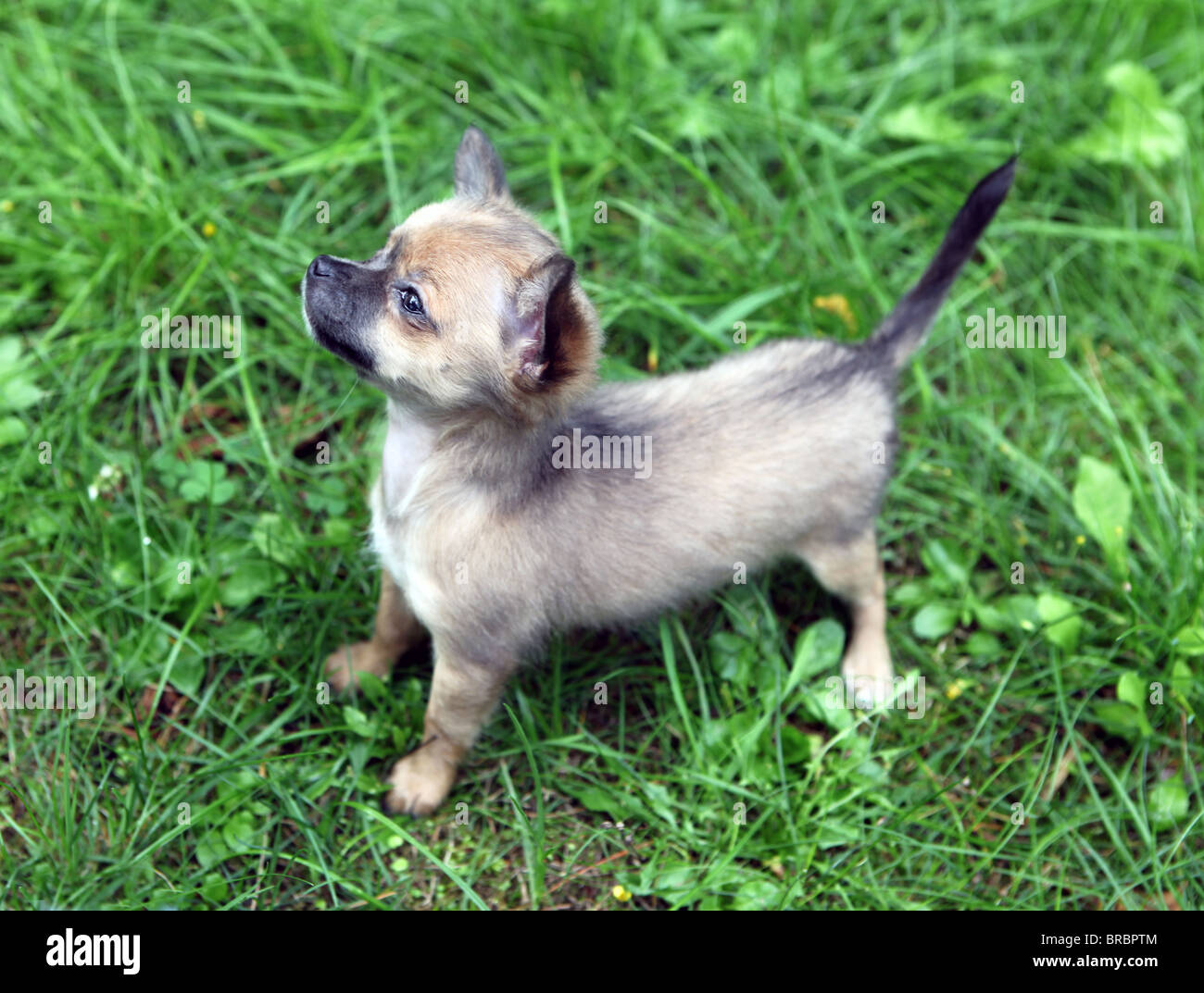 Eleven Weeks Old Longhair Blue And Grey Chihuahua Puppy Standing Stock Photo Alamy