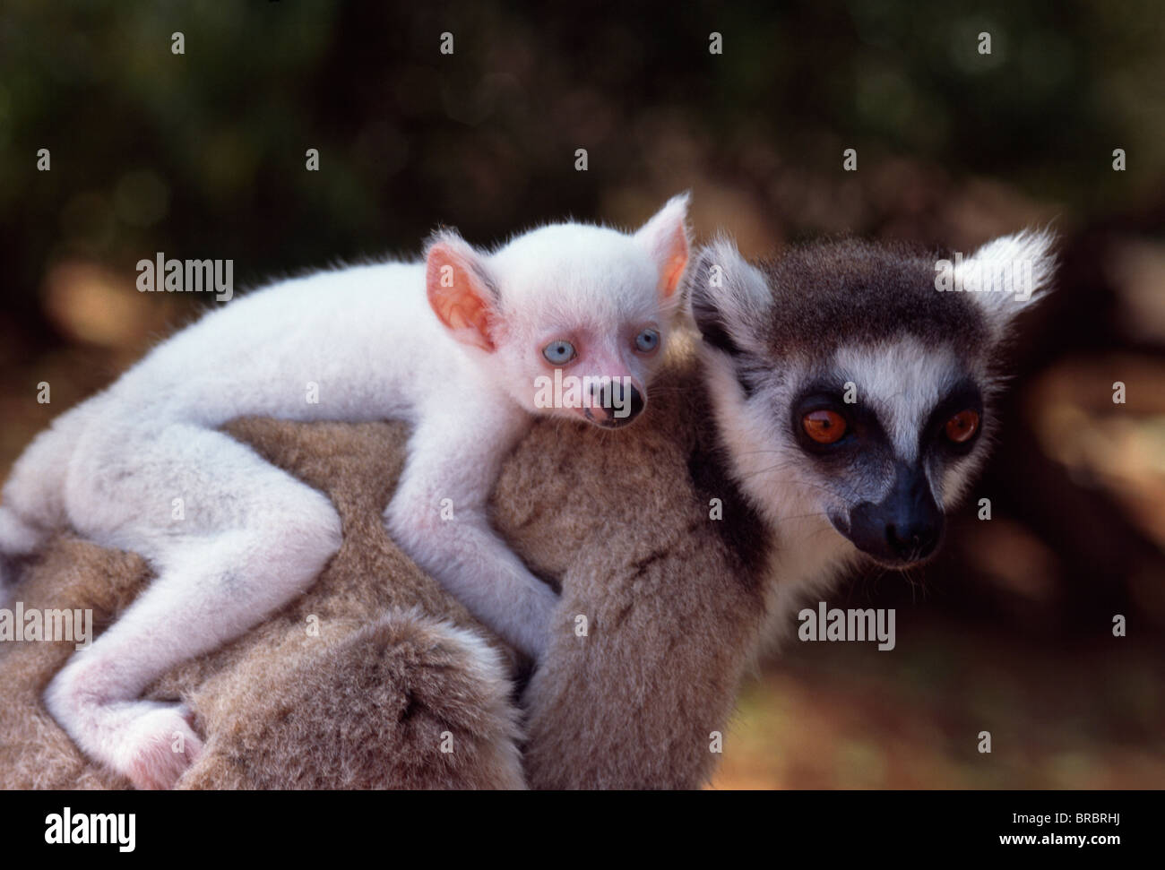 Ring-tailed Lemur (Lemur catta), all white baby male (Sapphire) albino on mother's  back, Berenty, Southern - Stock Image