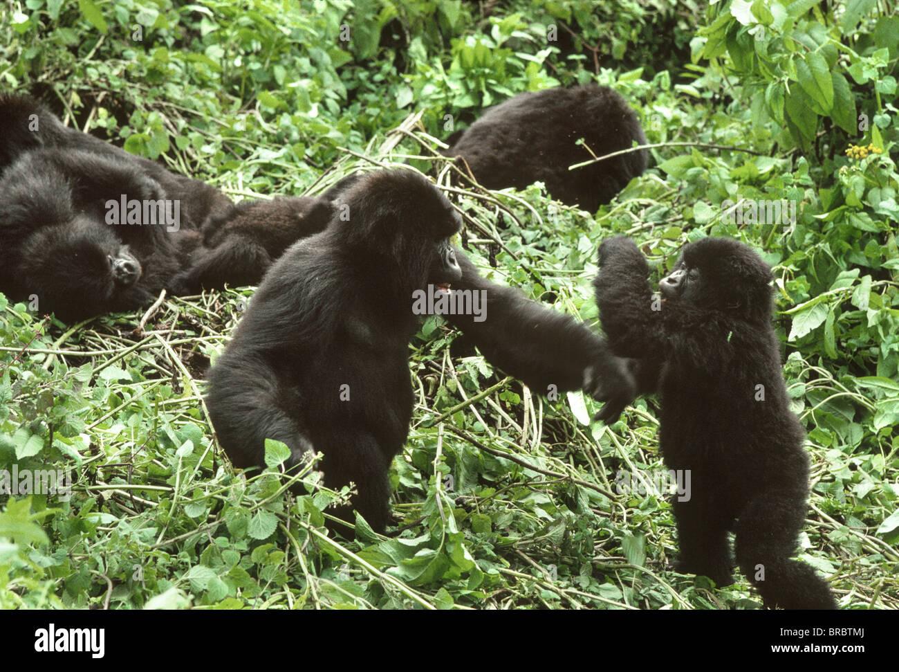 Mountain Gorillas (Gorilla gorilla beringei), juveniles playing, Virunga Volcanoes, Rwanda - Stock Image