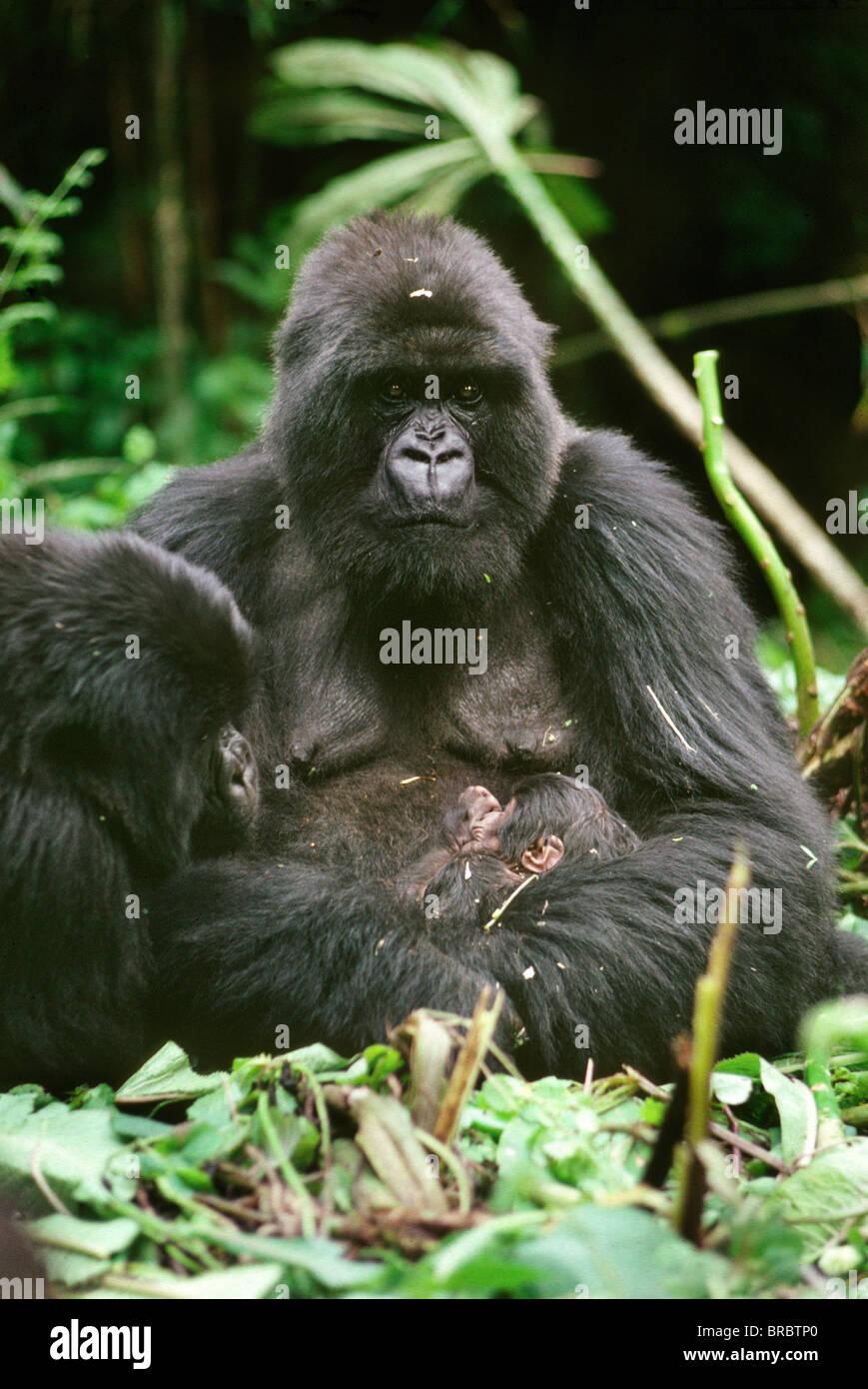 Mountain Gorillas (Gorilla g. beringei), mother Amareba with newborn infant, Virunga Volcanoes, Rwanda - Stock Image