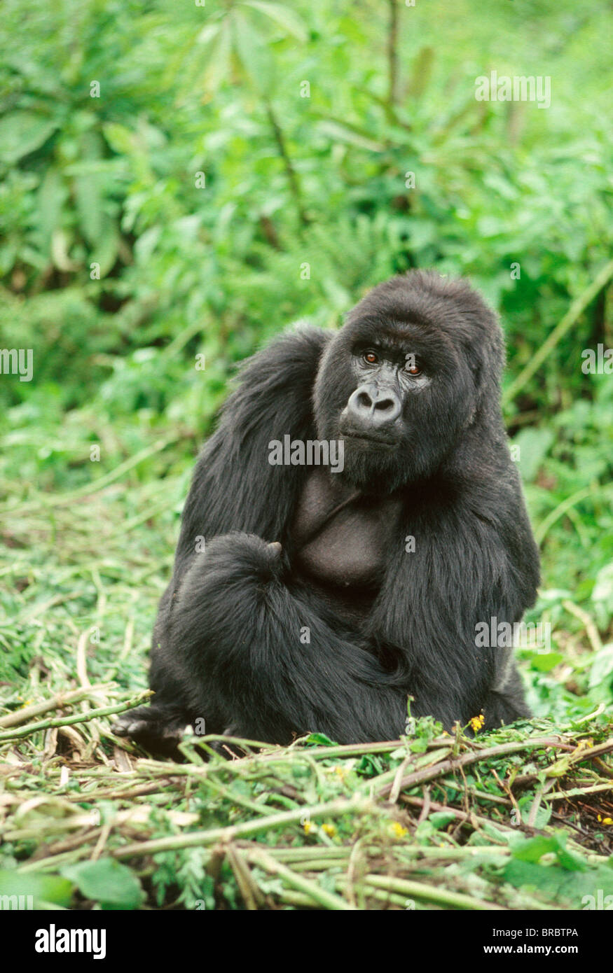Mountain Gorilla (Gorilla gorilla beringei) silverback male, Virunga Volcanoes, Rwanda - Stock Image