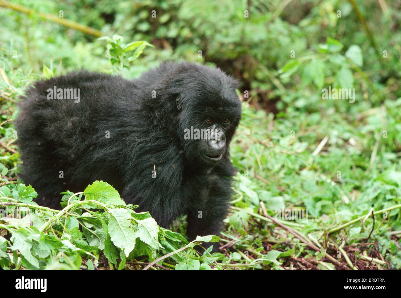Mountain Gorillas (Gorilla gorilla beringei) juvenile, Virunga Volcanoes, Rwanda - Stock Image