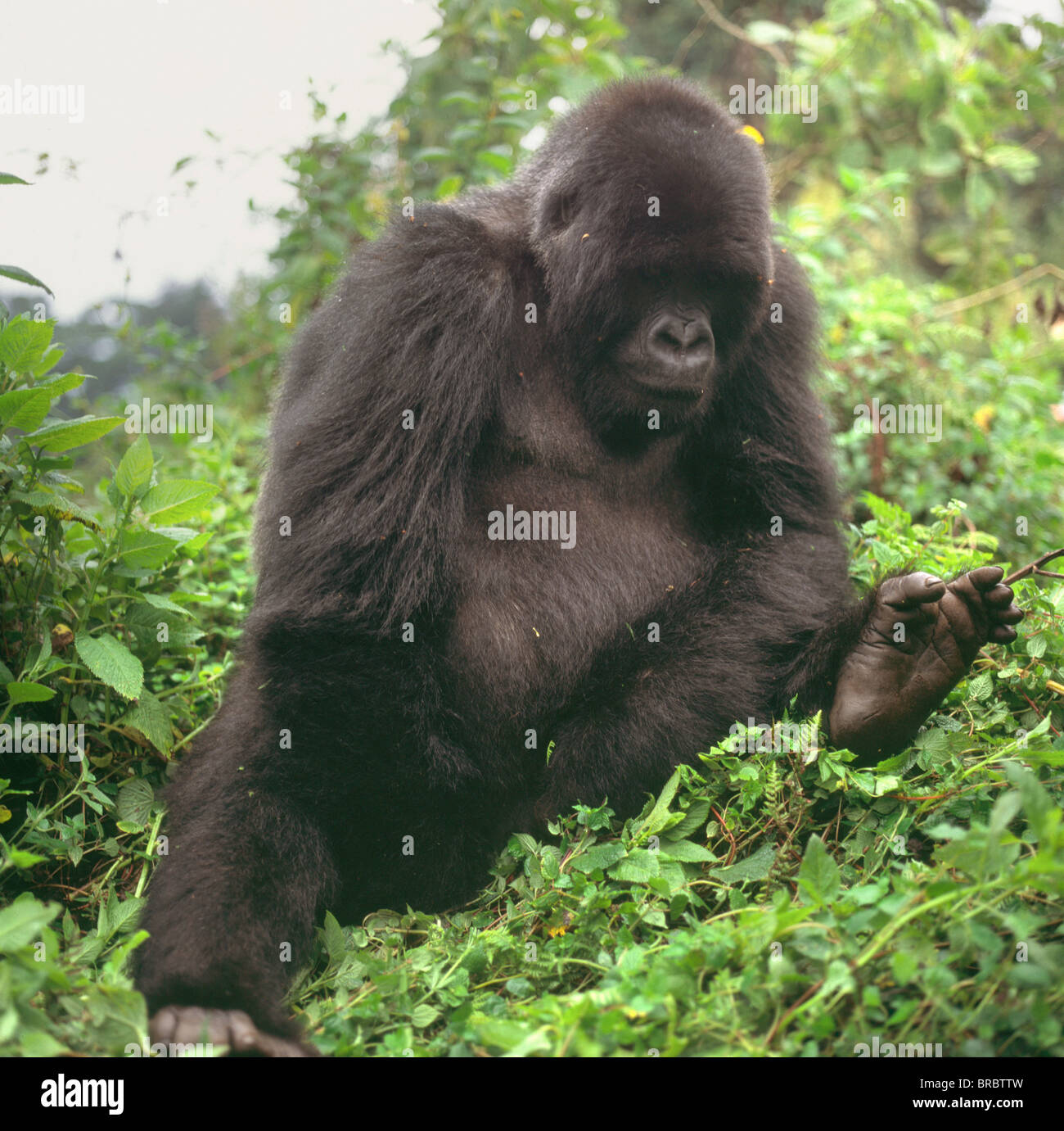 Mountain Gorilla (Gorilla gorilla beringei) young male, Virunga Volcanoes, Rwanda - Stock Image