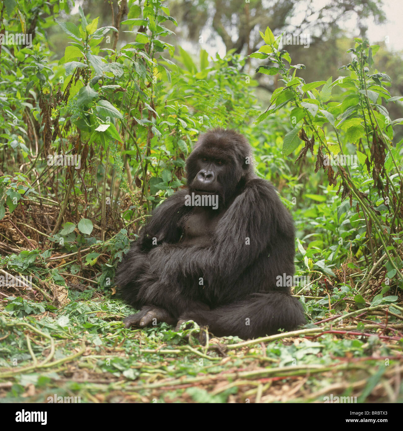 Mountain Gorillas (Gorilla gorilla beringei) blackback male, Virunga Volcanoes, Rwanda - Stock Image