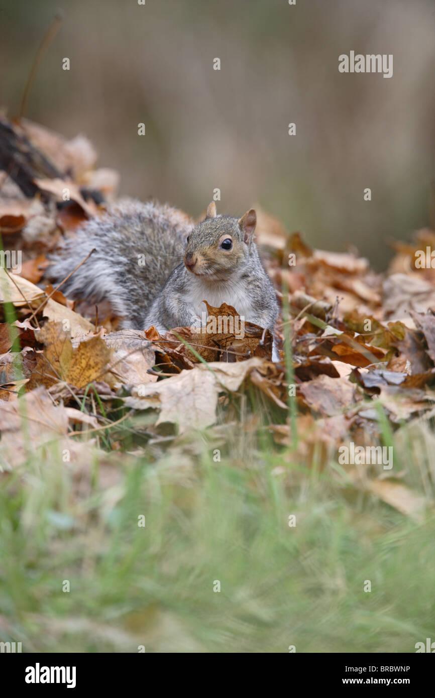 Grey squirrel (Scirus vulgaris ) in autumn leaves - Stock Image