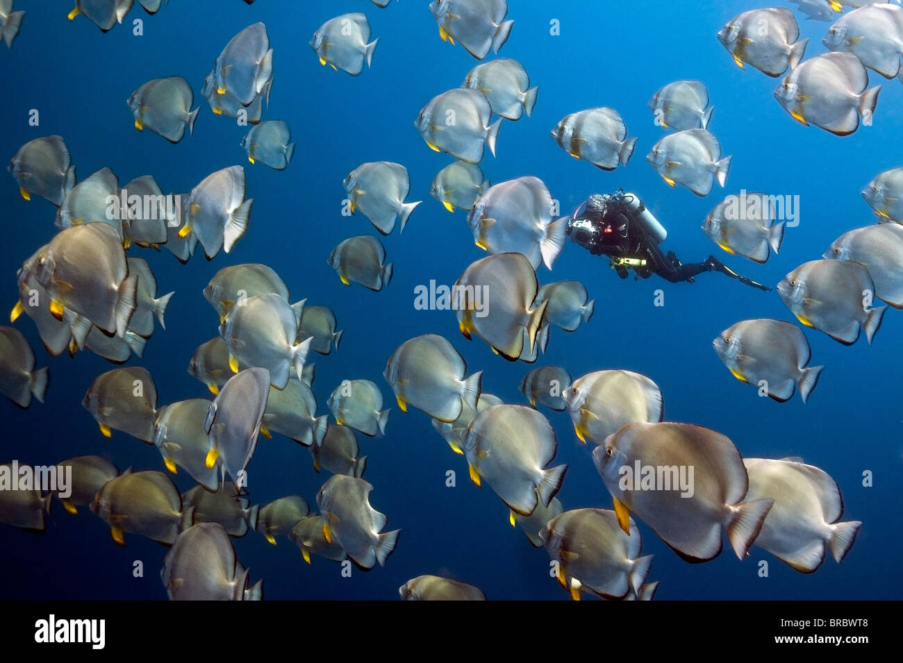 An Underwater photographer  taking pictures in a school of Batfish  Of Shark Reef Ras Mohammed red sea - Stock Image