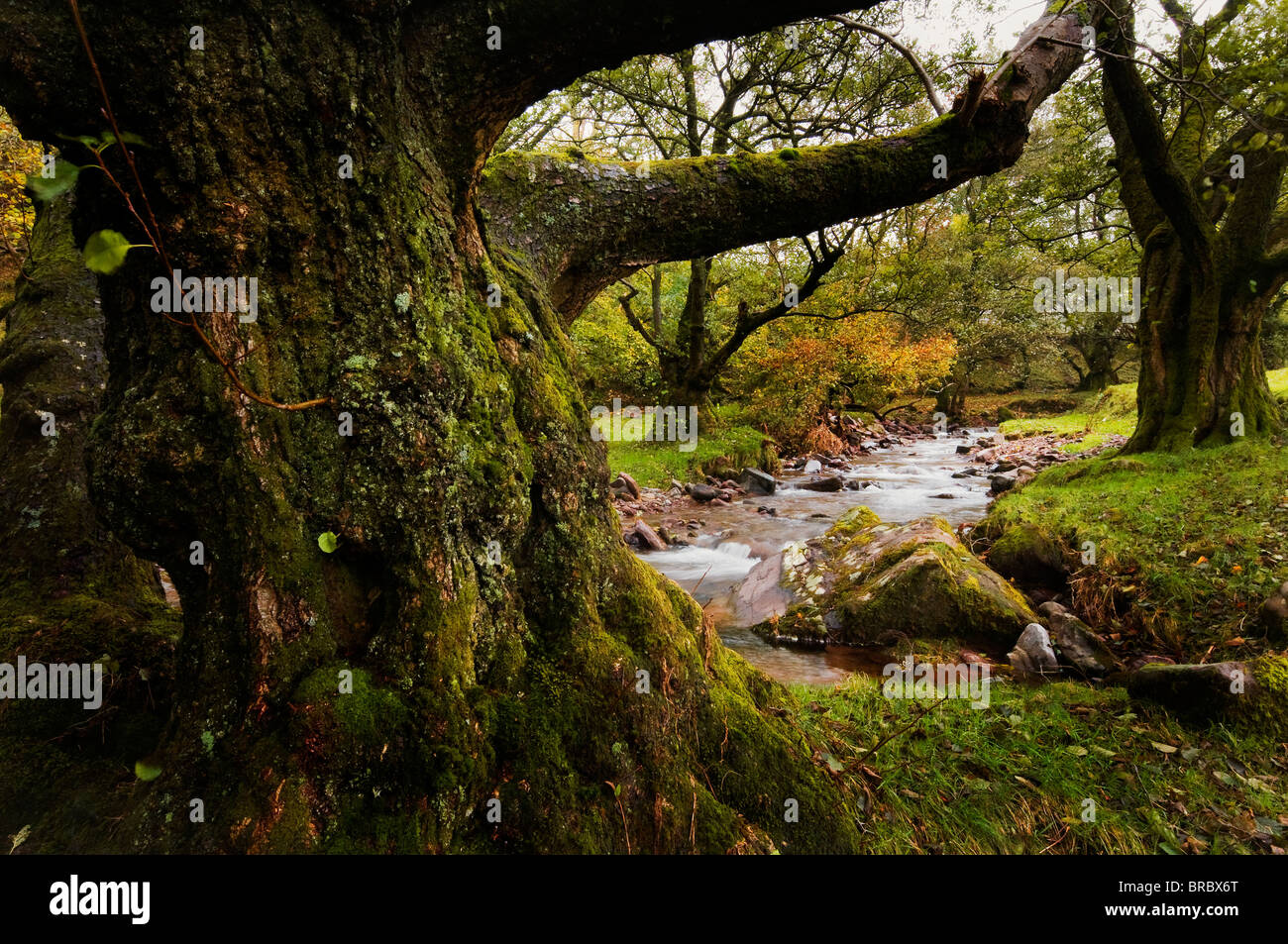 Ancient woodland by a mountain stream on Pen y Fan in the Brecon Beacons National Park - Stock Image