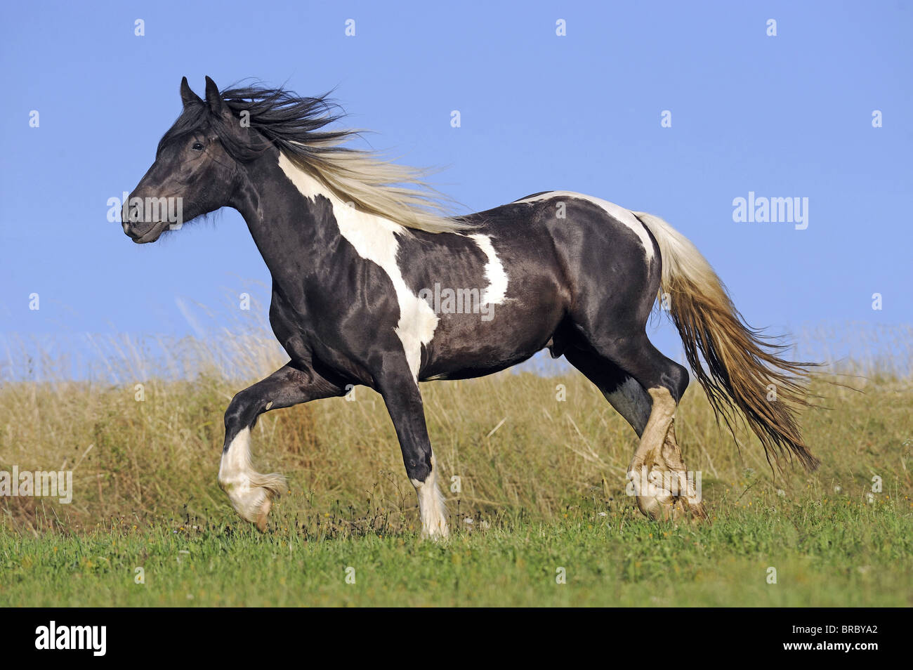 Gypsy Vanner Horse (Equus ferus caballus), young stallion trotting on a meadow. - Stock Image
