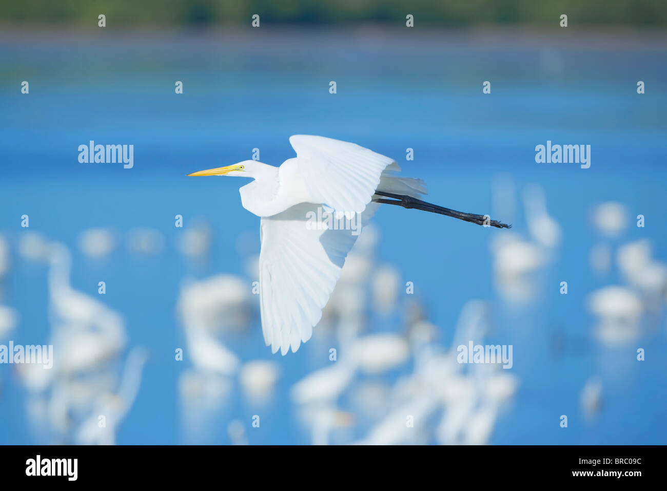 Great Egret (Casmerodius albus) in flight, Sanibel Island, J. N. Ding Darling National Wildlife Refuge, Florida, - Stock Image