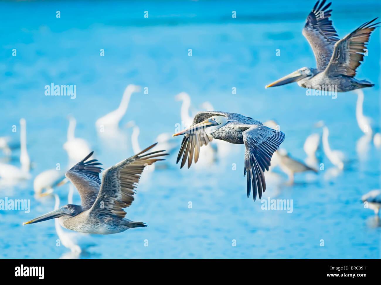 Brown Pelican (Pelecanus occidentalis) in flight, Sanibel Island, J. N. Ding Darling National Wildlife Refuge, Florida, - Stock Image