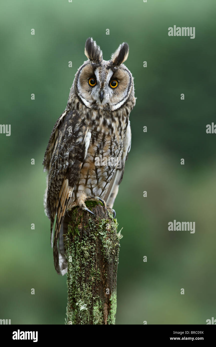 Long eared owl ( Asio otus ) on fence post - Stock Image
