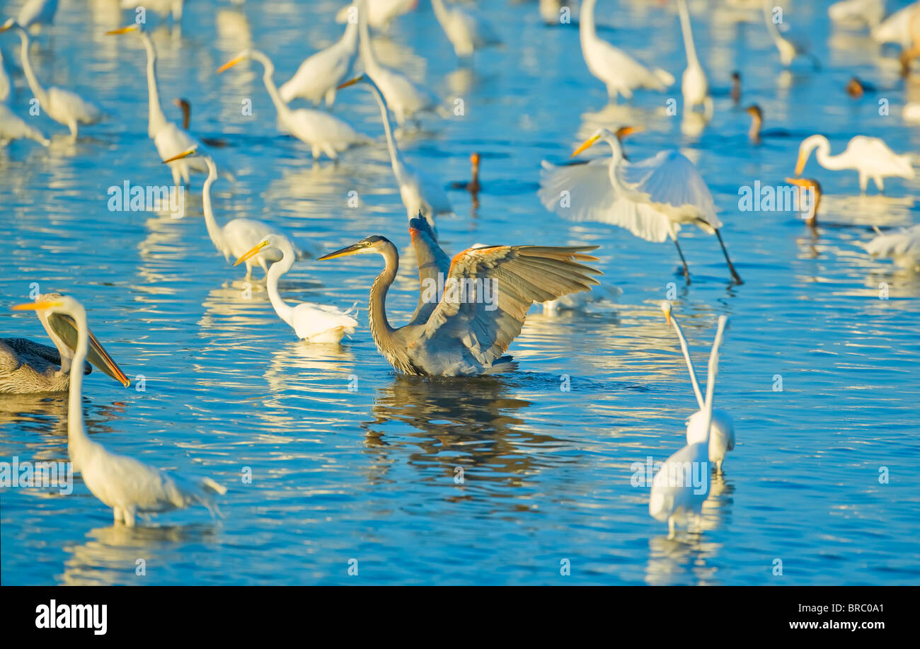 Great egrets and great blue heron looking for fish in pond, J. N. Ding Darling National Wildlife Refuge, Florida, - Stock Image