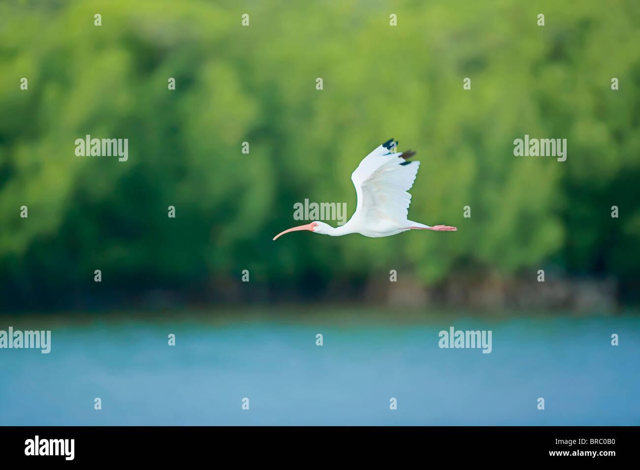 Roseate spoonbill (Ajaia ajaja) in flight, Sanibel Island, J. N. Ding Darling National Wildlife Refuge, Florida, - Stock Image