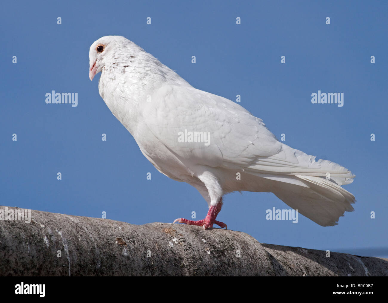 White Dove (columba) - Stock Image