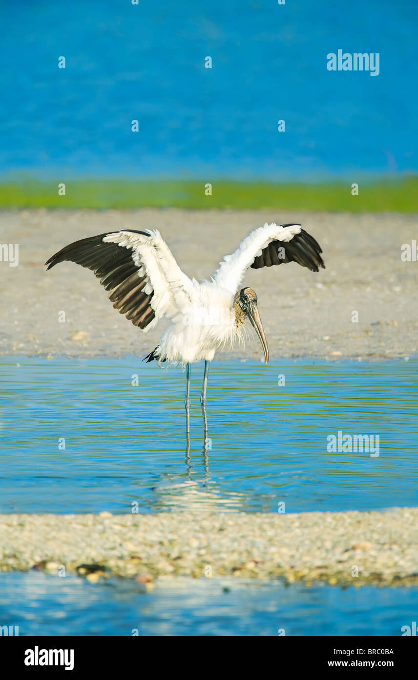 Wood Stork (Mycteria Americana) spreading wings, Sanibel Island, J. N. Ding Darling National Wildlife Refuge, Florida, - Stock Image