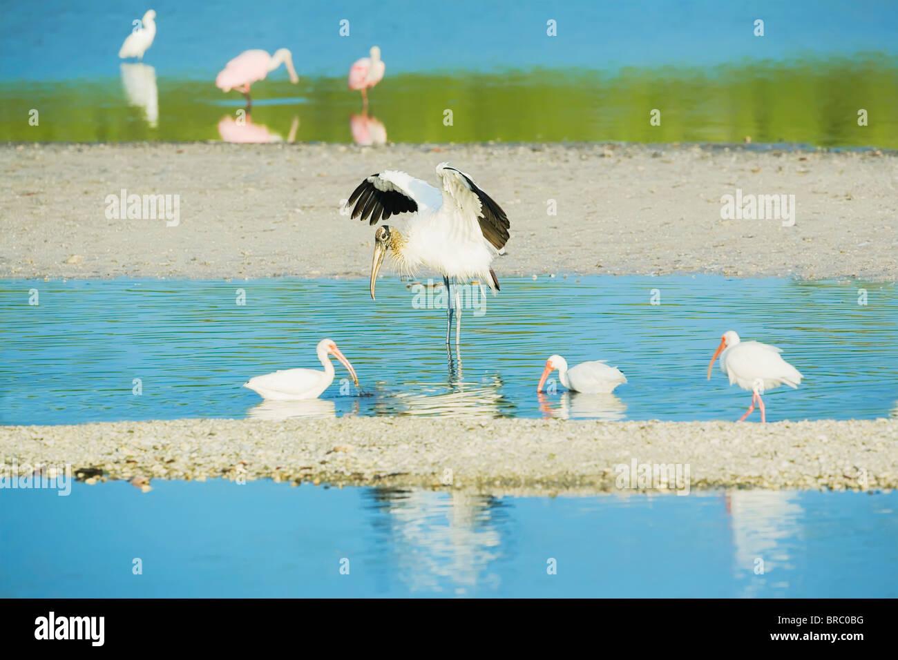 Wood Stork spreading wings and Roseate Spoonbills, Sanibel Island, J. N. Ding Darling National Wildlife Refuge, - Stock Image