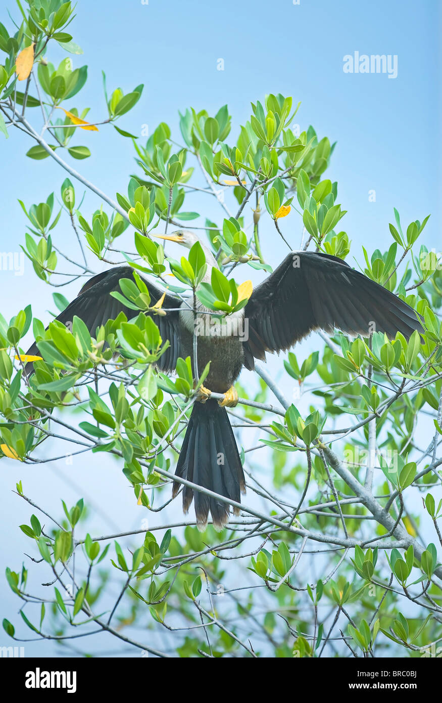 Anhinga spreading wings, Sanibel Island, J. N. Ding Darling National Wildlife Refuge, Florida, USA - Stock Image