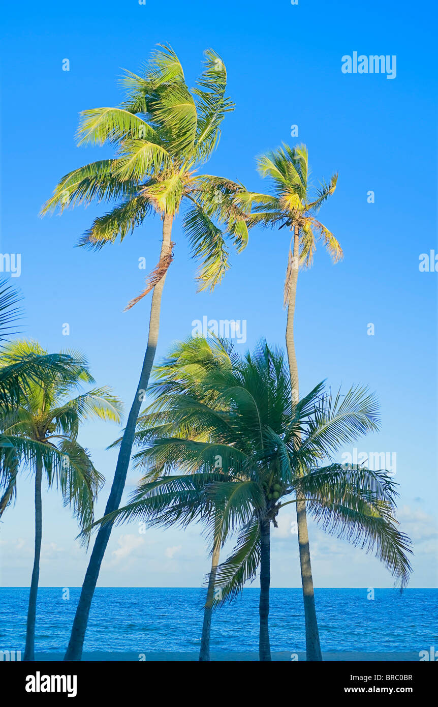 Palm trees on tropical beach, Fort Lauderdale, Florida, USA - Stock Image