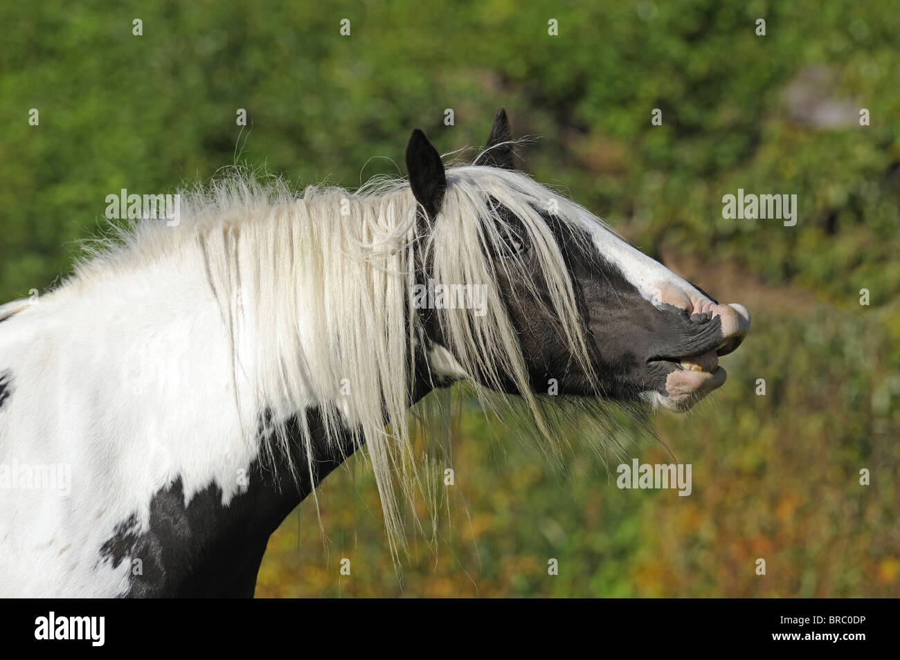 Gypsy Vanner Horse (Equus ferus caballus), mare doing the flehmen. - Stock Image