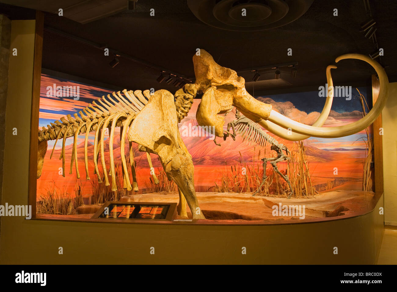 Mammoth skeleton from the Pleistocene Ice Age at the Nevada State Museum, Carson City, Nevada, USA - Stock Image