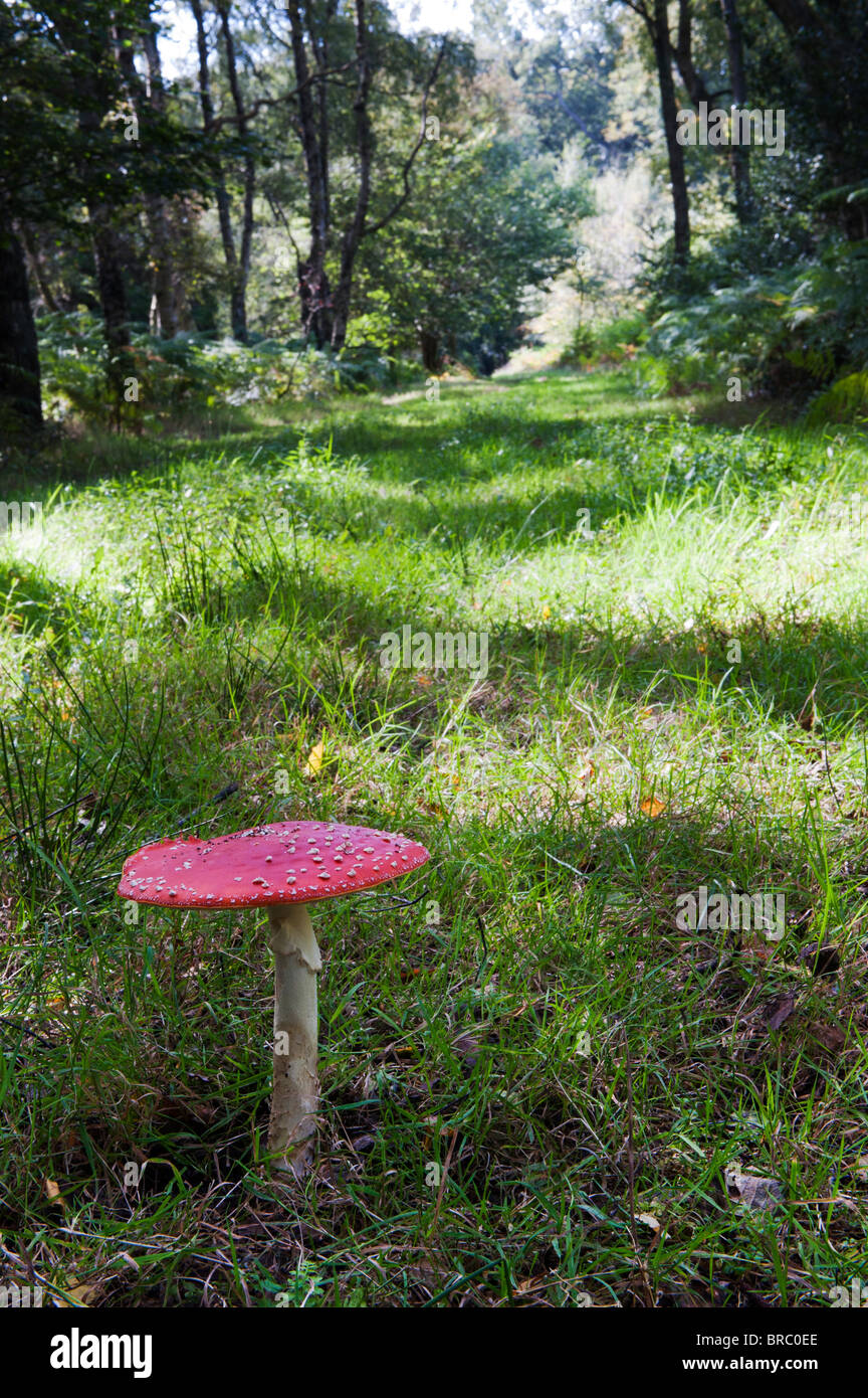 Amanita muscaria, Fly agaric mushroom growing in an english woodland. - Stock Image