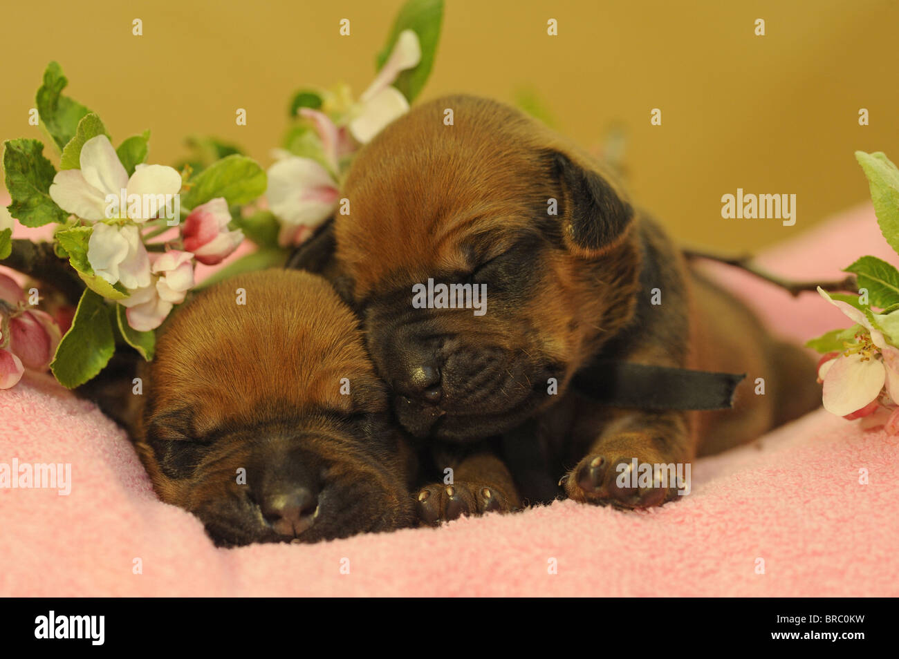 Rhodesian Ridgeback (Canis lupus familiaris). Two puppies sleeping on a pink towel next to apple flowers. Stock Photo