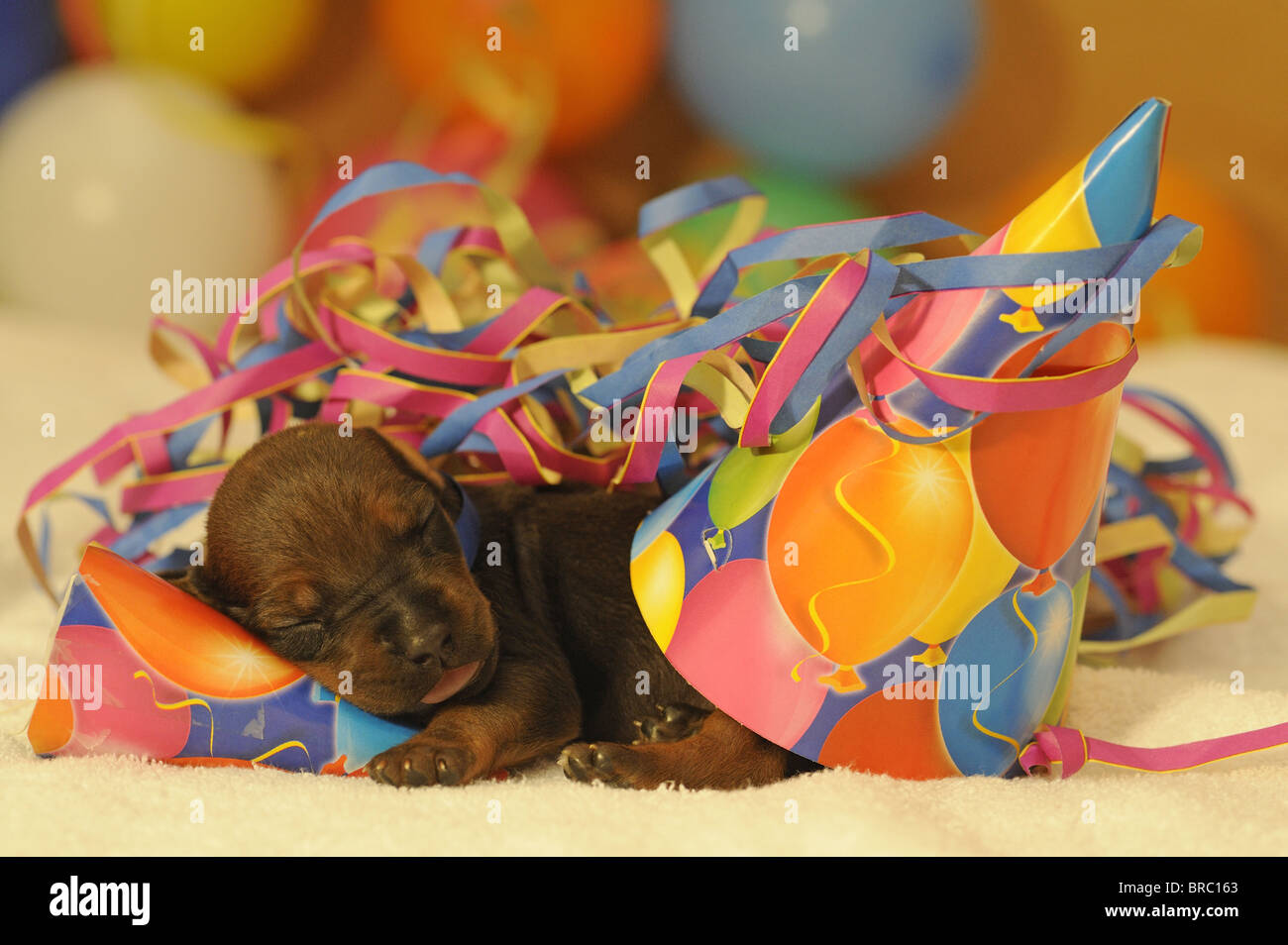 Rhodesian Ridgeback (Canis lupus familiaris). Puppy sleeping among paper streamers and multicolored little hats. - Stock Image