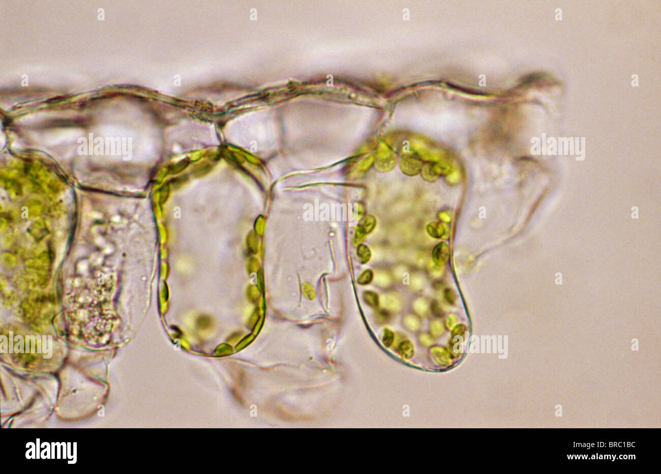 Light Micrograph (LM) of a plant cell chloroplasts, the site where photosynthesis takes place - Stock Image
