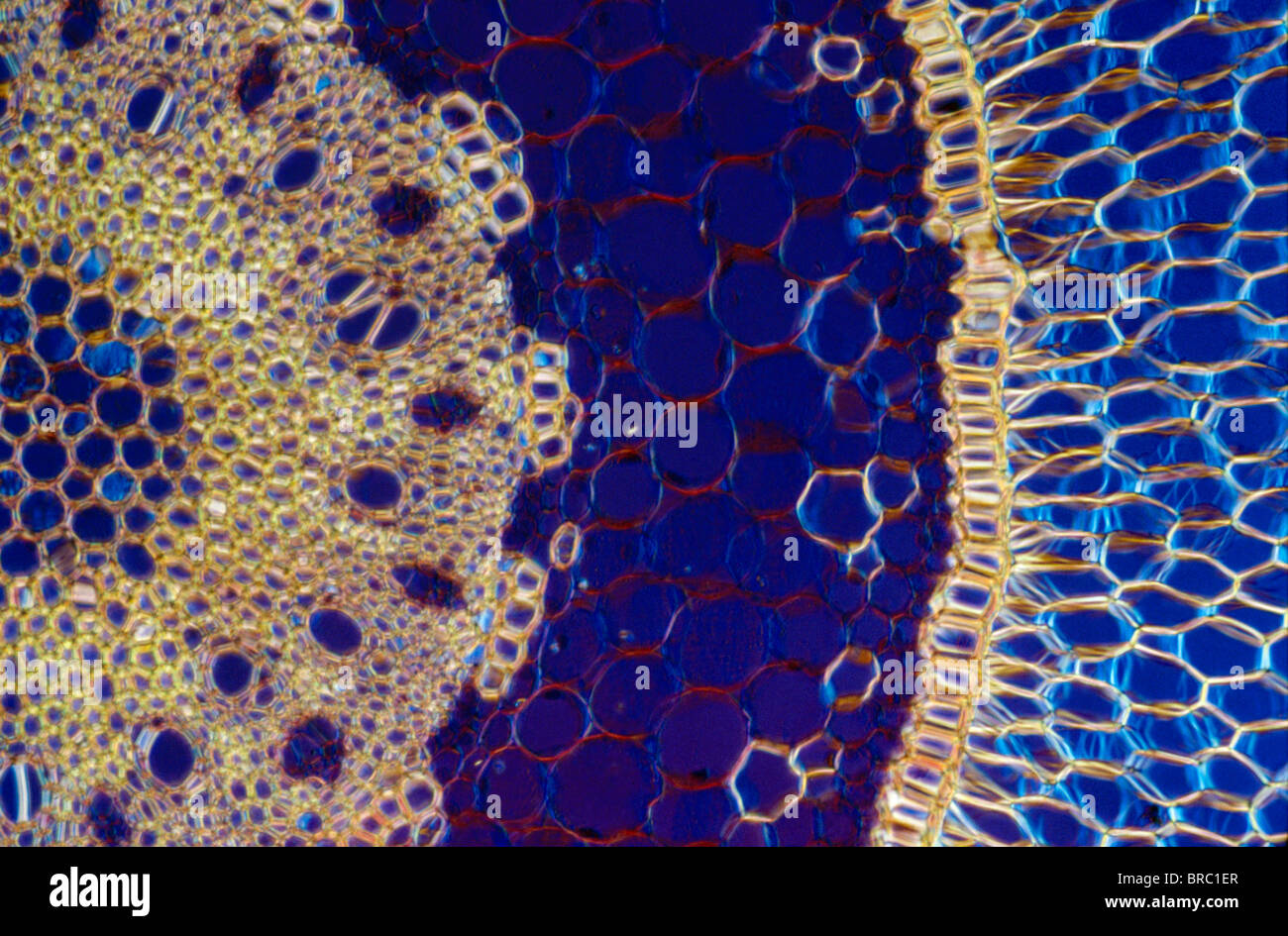 Light Micrograph (LM) of a transverse section of an aerial root of Orchid (Dendrobium sp.), magnification x600 - Stock Image