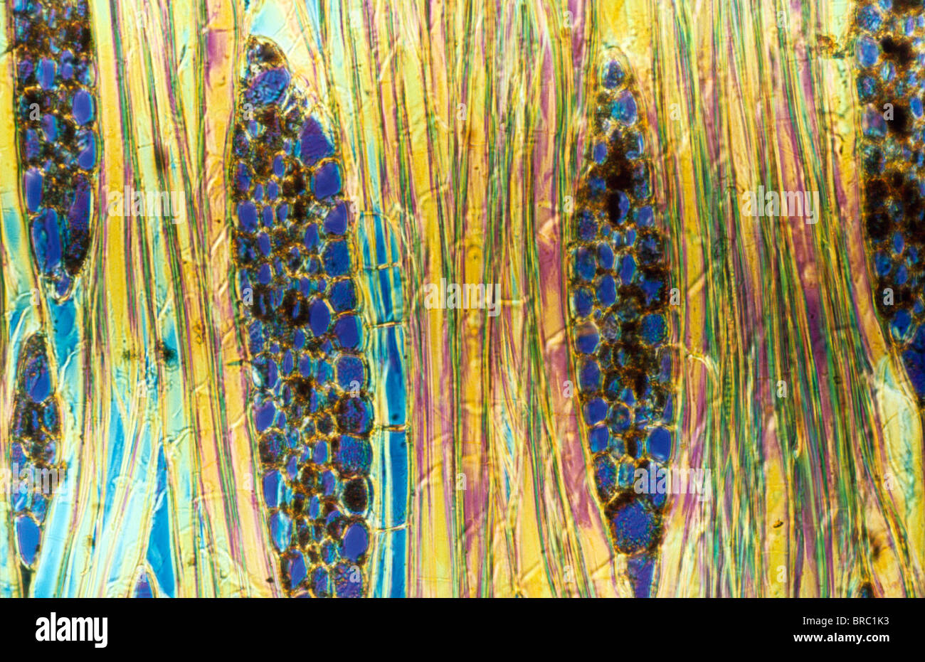 Light Micrograph (LM) of a longitudinal section showing xylem elements of Mahogany wood (Pinus sylvestris), magnification - Stock Image