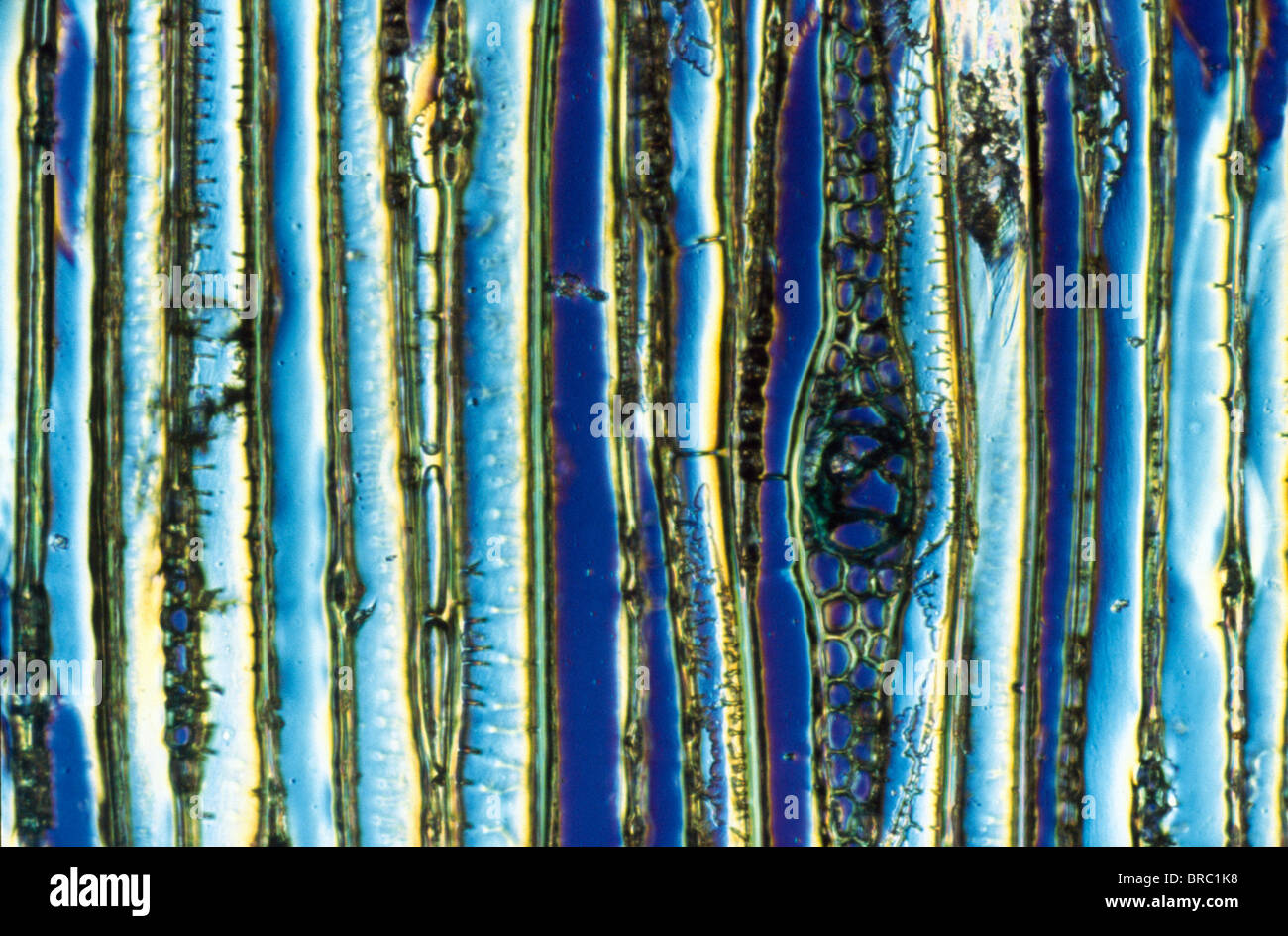 Light Micrograph (LM) of longitudinal section showing xylem elements of Scots pine wood, (Pinus sylvestris), magnification - Stock Image