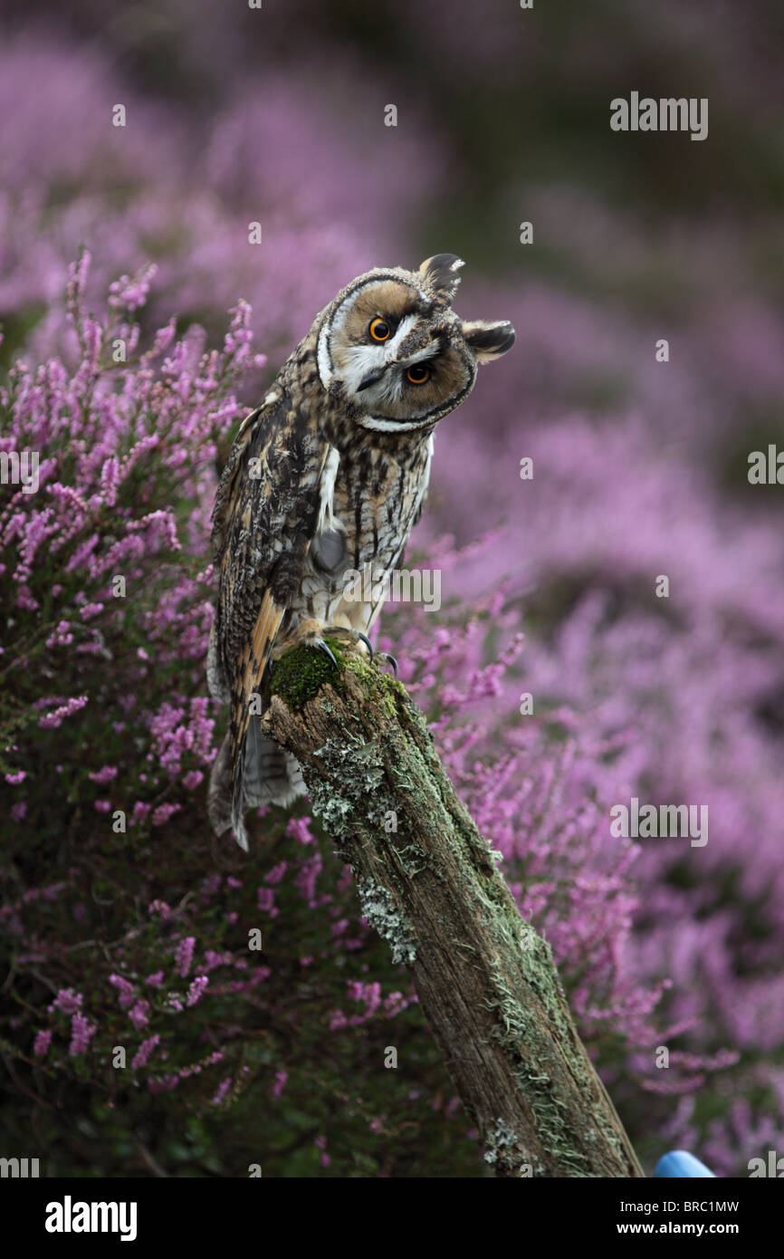 Long eared owl (Asio otus ) on fence post in heather - Stock Image
