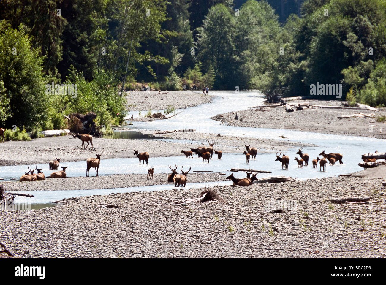 herd of elk taking a refreshing pause in sparkling waters of Hoh River with distant hikers Hoh Rain Forest Olympic - Stock Image