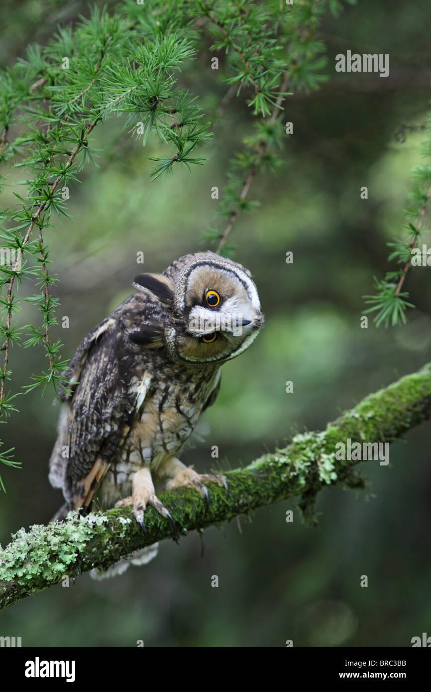 Long eared owl ( Asio otus ) in larch tree head turning - Stock Image