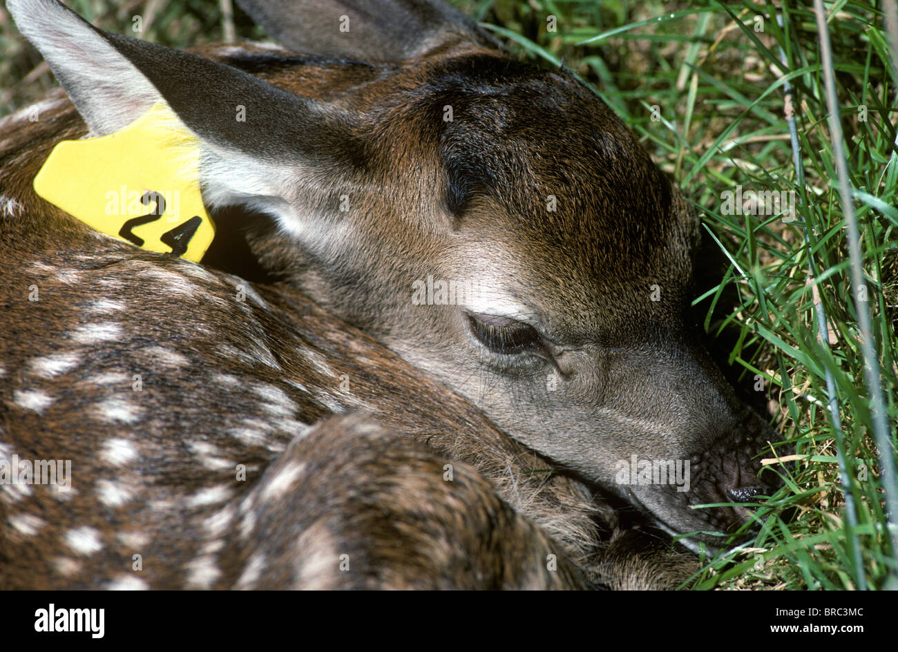 Farmed red deer calf lying waiting for its mother - Stock Image
